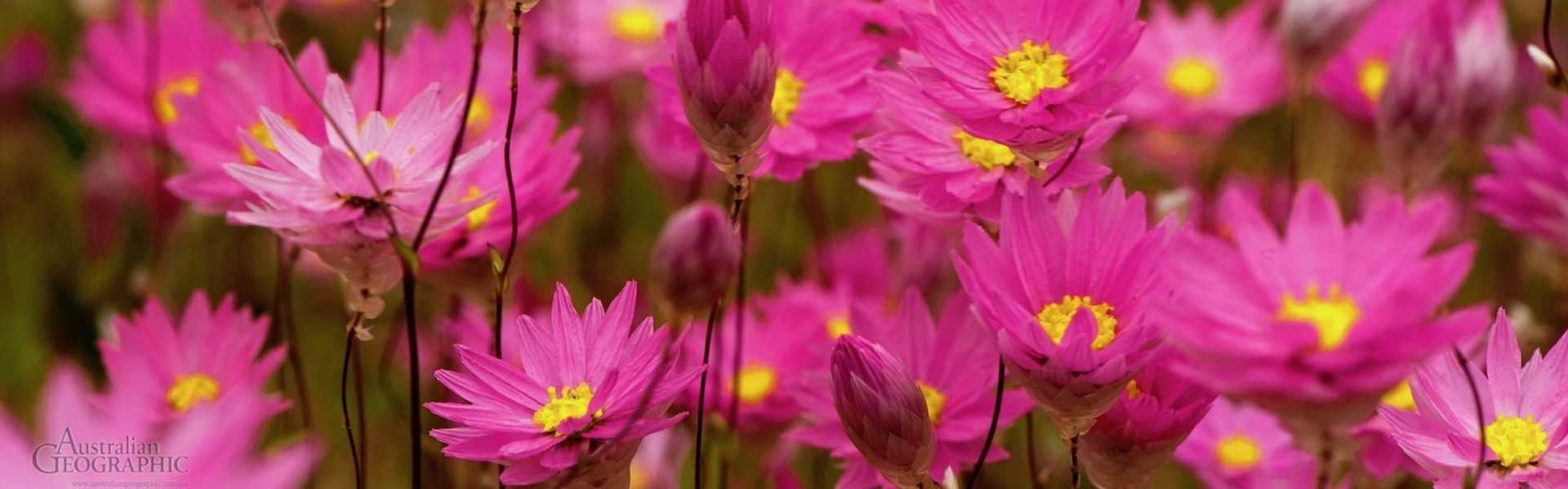 Kui Parks, Wongan Hills Caravan Park, Wild Flowers