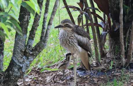 Kui Parks, Millaa Millaa Tourist Park, Birdlife