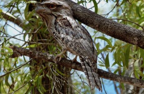 Kui Parks, Mt. Carbine Caravan Park, Tawny Frogmouth Owl